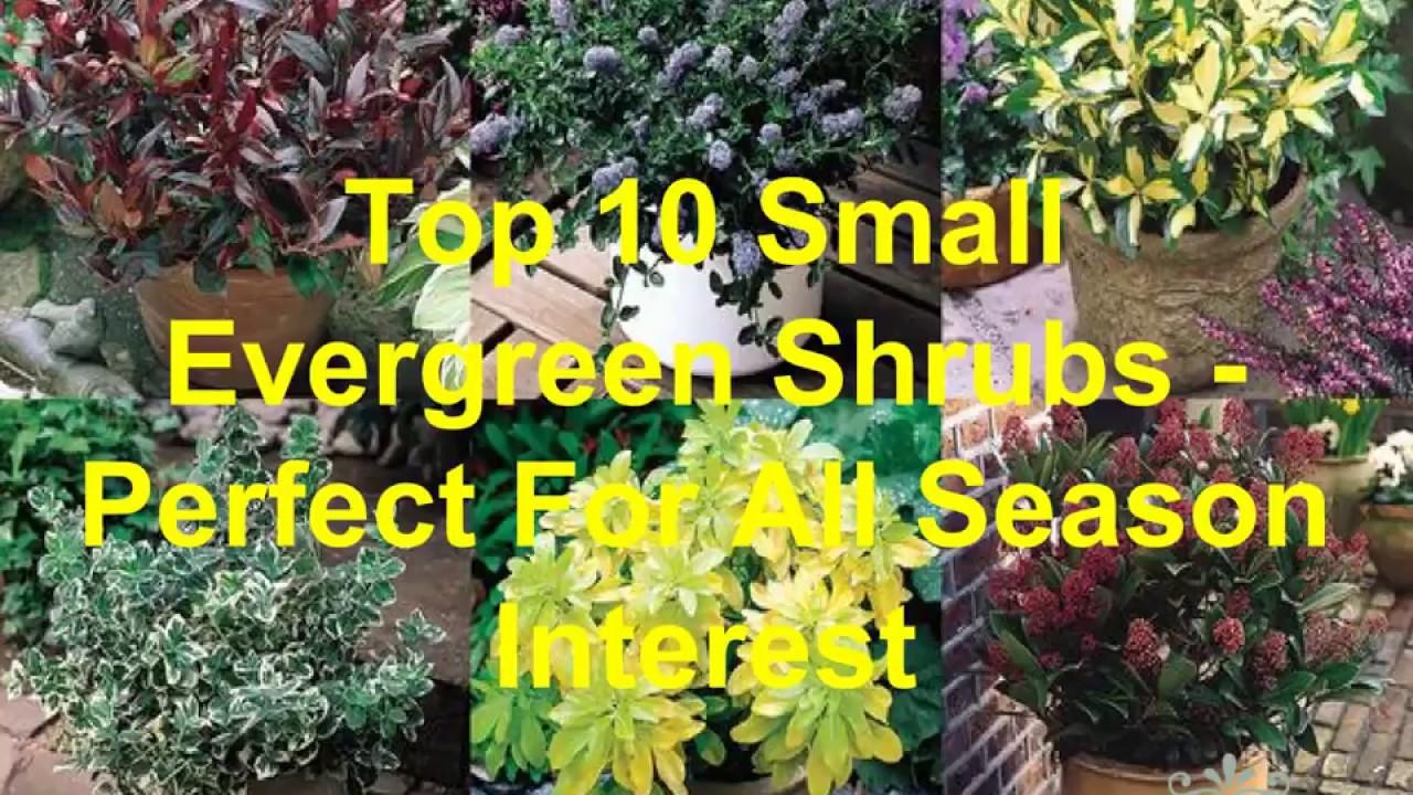 of evergreen shrubs