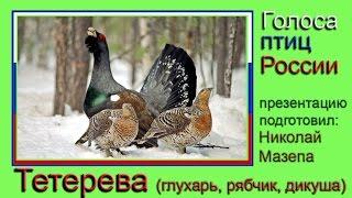 Тетерева. Голоса птиц России