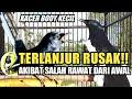 Terlanjur Rusak Kacer Body Kecil Jadi Jelek Akibat Salah Perawatan Dr Kacer  Mp3 - Mp4 Download