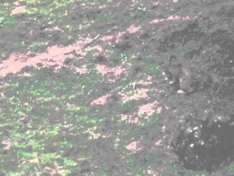 Iberian Lynx eats European Rabbit
