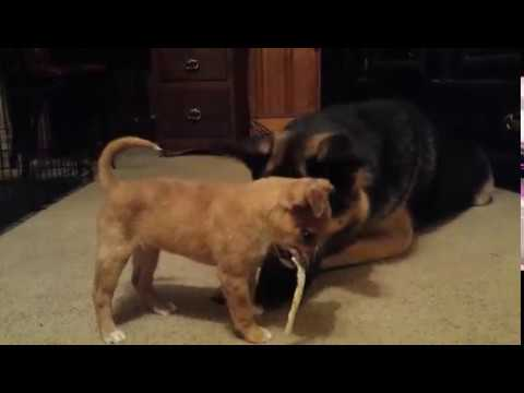 Adult German Shepherd Dog playing with Puppy