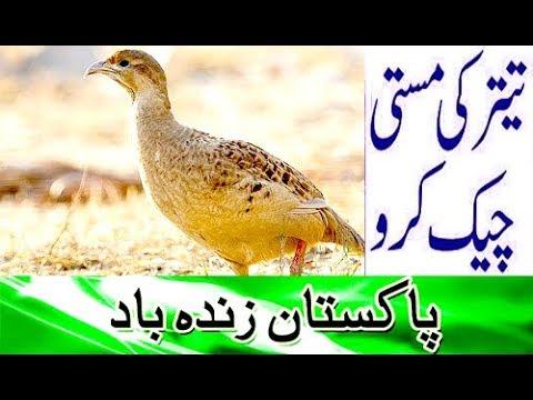 Teetar Bird Sindhi teetar ki awaz