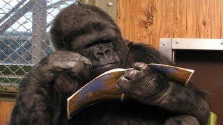 Smartest Gorilla in the World
