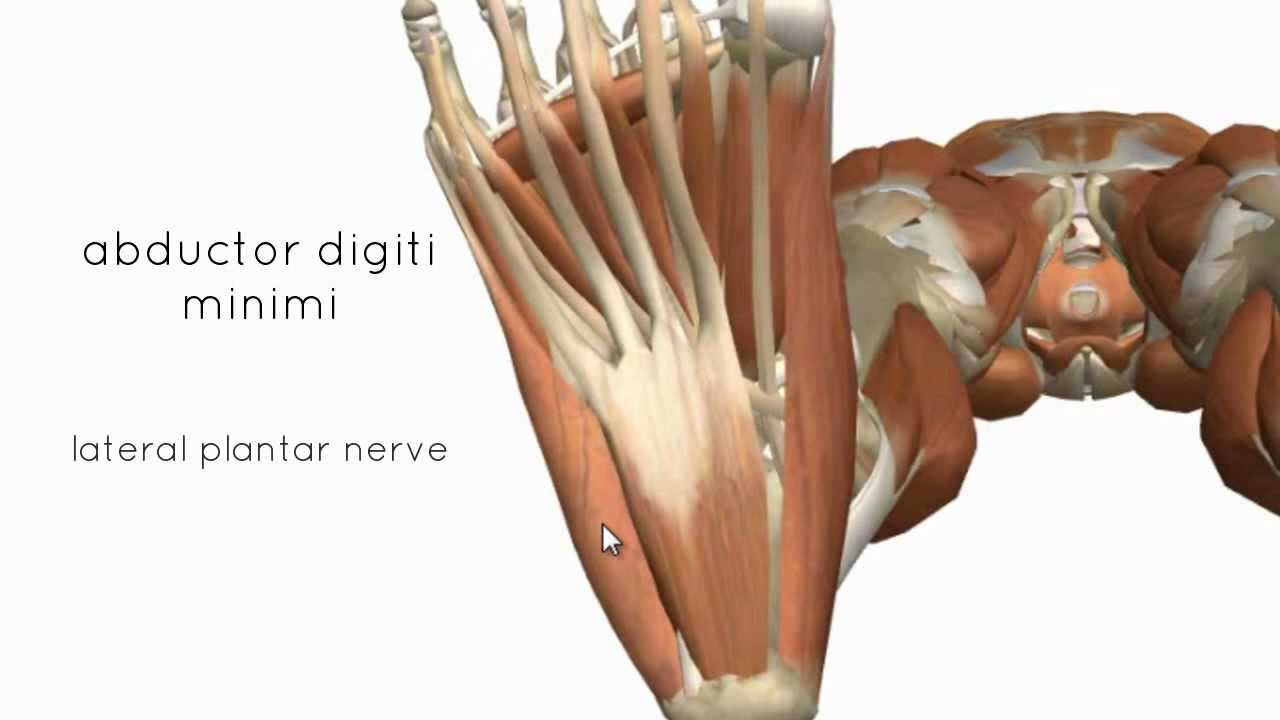 Muscles of the Foot Part 2 - 3D Anatomy Tutorial - YouTube