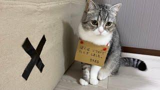 イタズラを繰り返し、とうとう反省札をかけられた猫がこちらですw