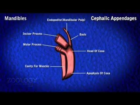 cephalic appendages