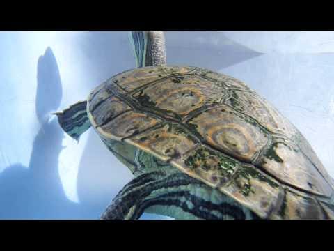 tortuga hicotea, (trachemys venusta), originaria del sureste mexicano