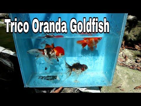 Amazing Goldfish Facility In ILIGAN CITY PHILIPPINES