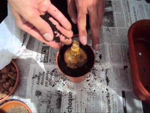El jardinero en casa plantas bulbosas doovi for Jardinero en casa