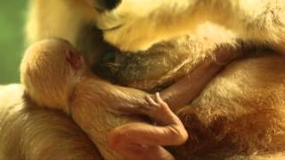 Lincoln Park Zoo Welcomes Rare White-Cheeked Gibbon Baby