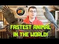 Fastest Animal In the World! Peregrine Falcon Falconry