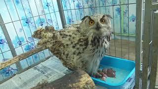 Раненный филин поселился в костанайском приюте для бездомных животных