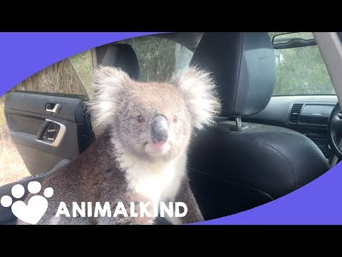 Koala Leaps Into Car. Scares Man And His Dog | Amazing Animal Encounters