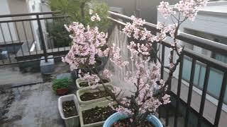 ベランダの桜 満開 ガーデニング.