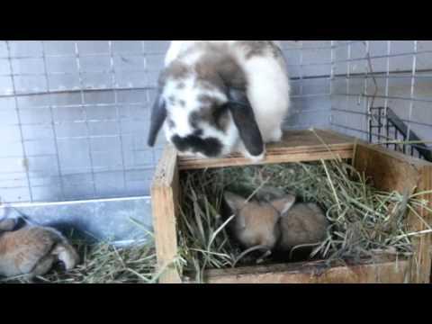 Baby Holland Lops | Herd Update