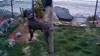 Weimaraner Jumps Fence