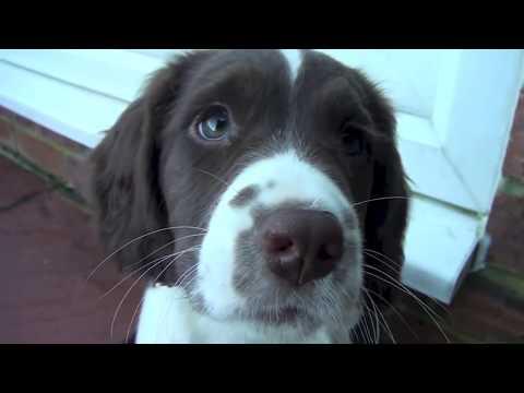 English Springer Spaniel puppies ...