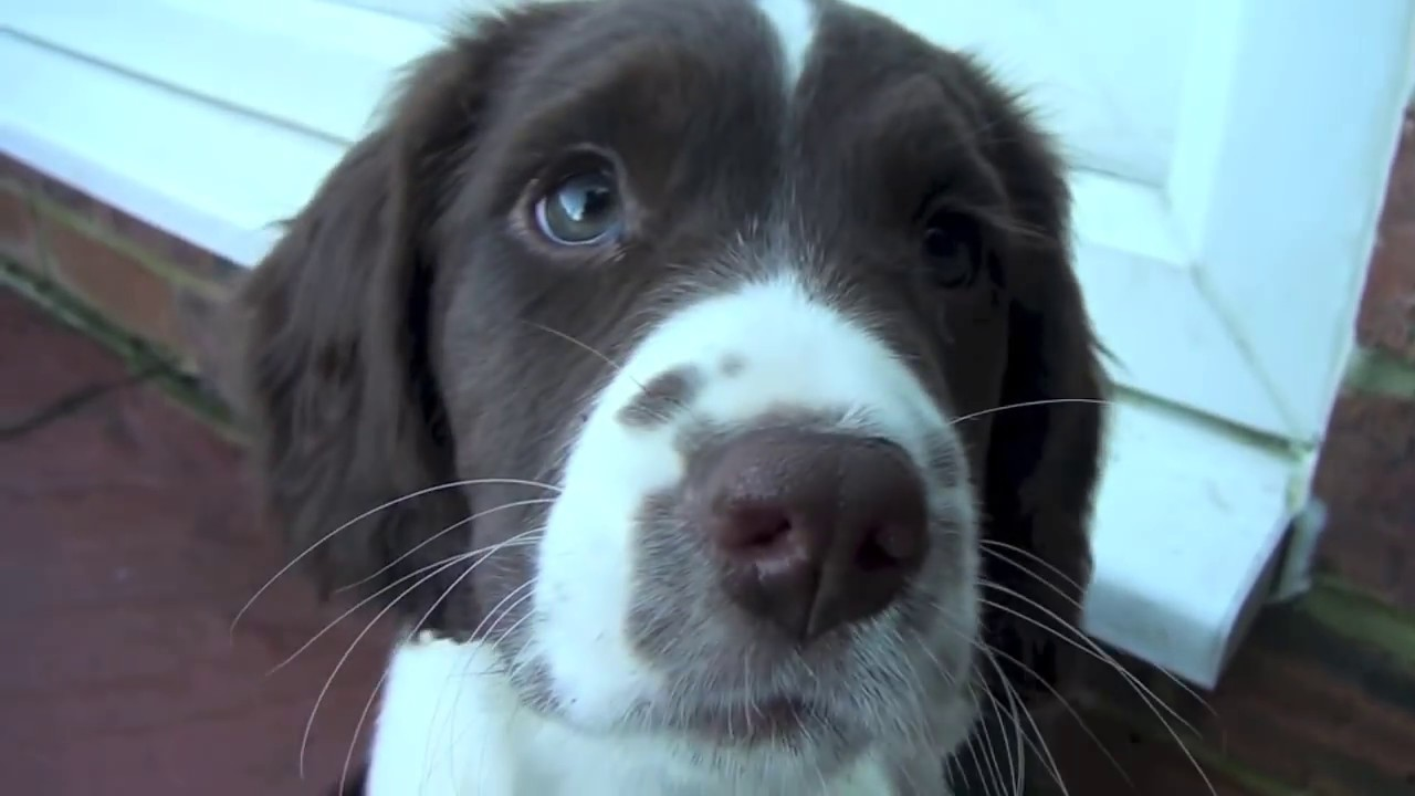 English Springer Spaniel Puppies Youtube