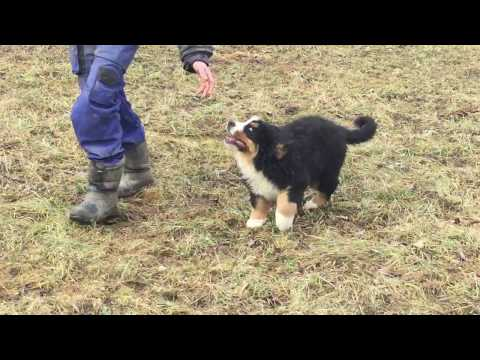 Bernese Mountain Dog Guinness (Franky) Euro Puppy