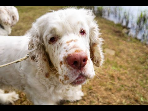 Clumber Spaniel - Dog Breed