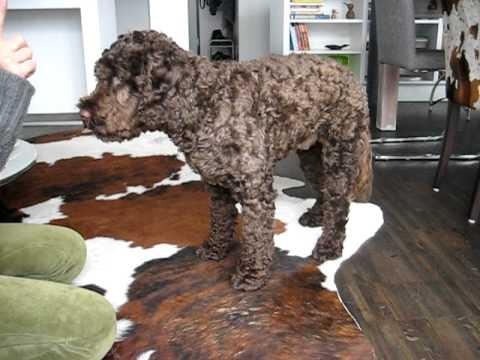 willi portugiesischer wasserhund die z hmung des killerr den youtube. Black Bedroom Furniture Sets. Home Design Ideas