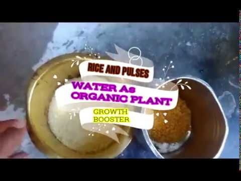 natural fertilizer or organic fertilizer for plant growth using rice water(plant growth booster)