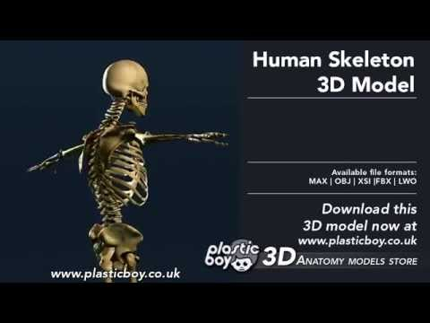 human skeleton 3d model - plasticboy.co.uk - youtube, Skeleton