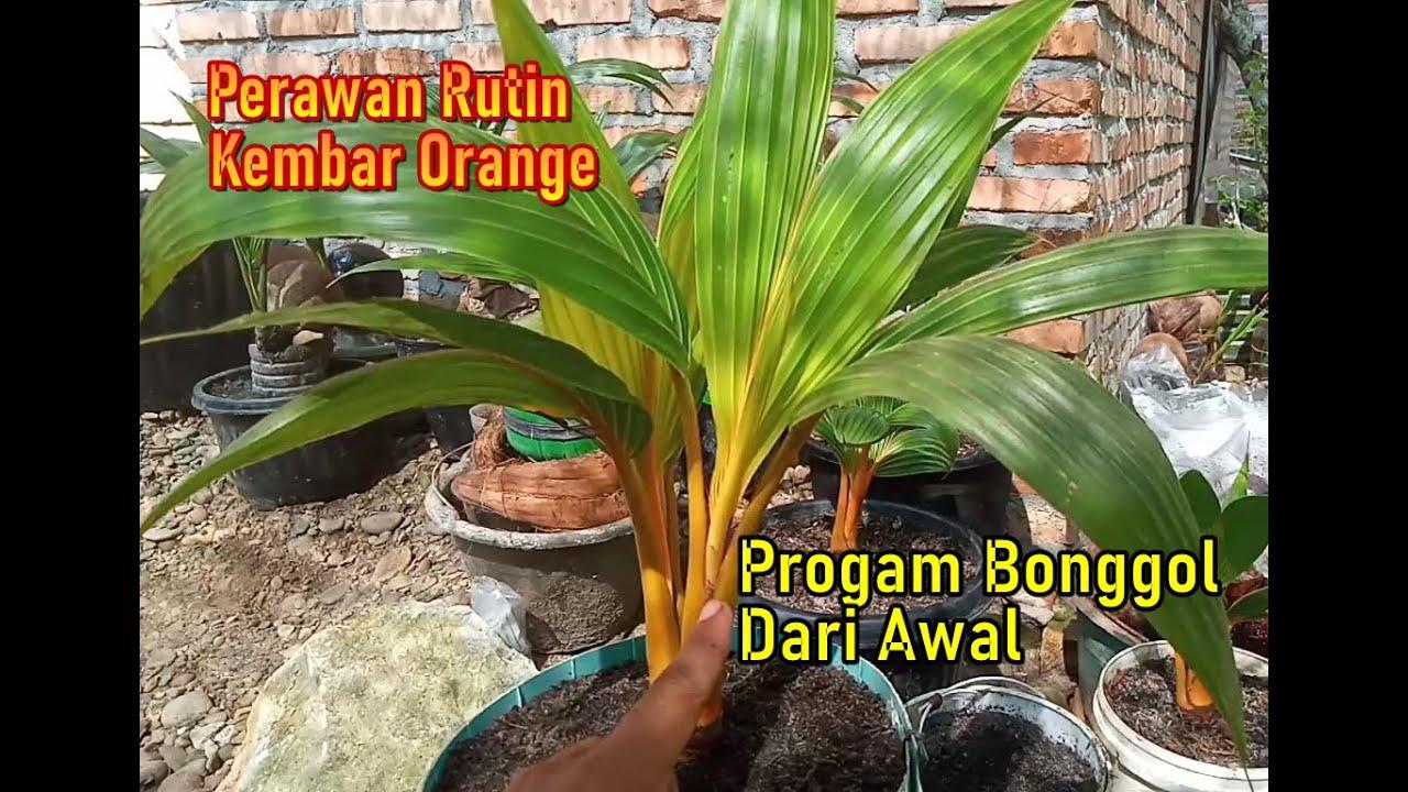 Perawatan Rutin Bonsai Kelapa Gading Orange Kembar Dan Progam