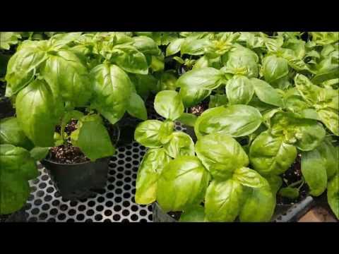 How to Do Better Basil Picking