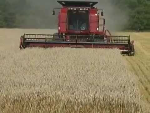 Combining wheat with a Case IH 2366 combine
