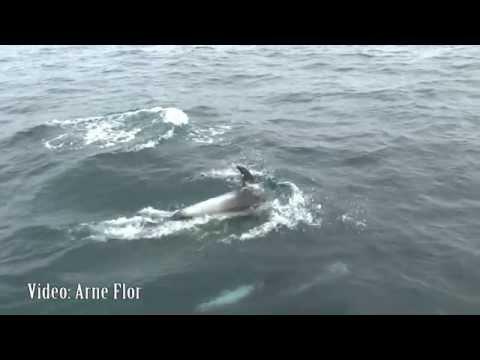 Kvitnos (Lagenorhynchus albirostris) White-beaked dolphin