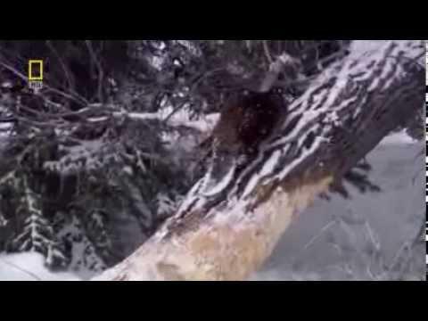 Nat Geo Бобры плотники