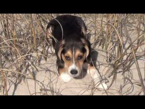Cutest beagle puppy's first time at the beach
