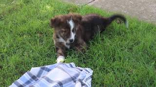 Border Collie Mix Puppies For Sale