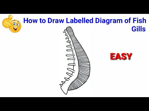 How To Draw Diagram Of Fish Gills Step By Step For Beginners ! | How To Draw Fish Gills Diagram