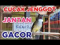 Terapi Cucak Jenggot Jantan Gacor Panjang menit Kicau Pidong  Mp3 - Mp4 Download
