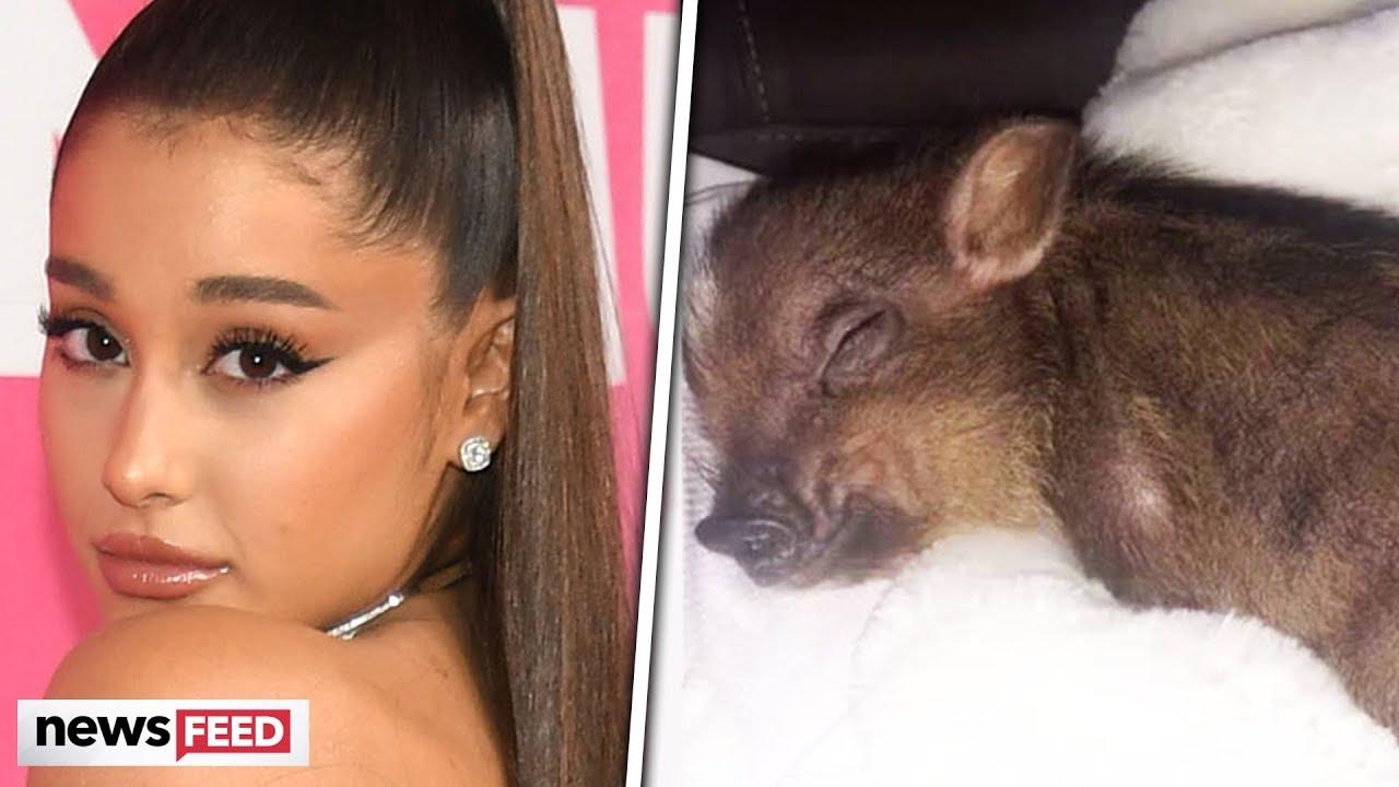 Ariana Grande's Pet Pig In DANGER?!?!