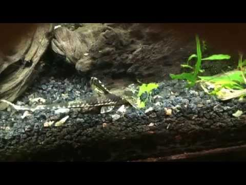 Whiptail Catfish Out And About