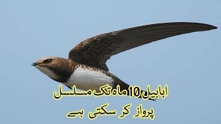 Video Swallow Ababil can fly ten month continuously   Urdu & Hindi Information download MP3, 3GP, MP4, WEBM, AVI, FLV Juni 2018