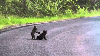 Yosemite Bears ORIGINAL thumbnail