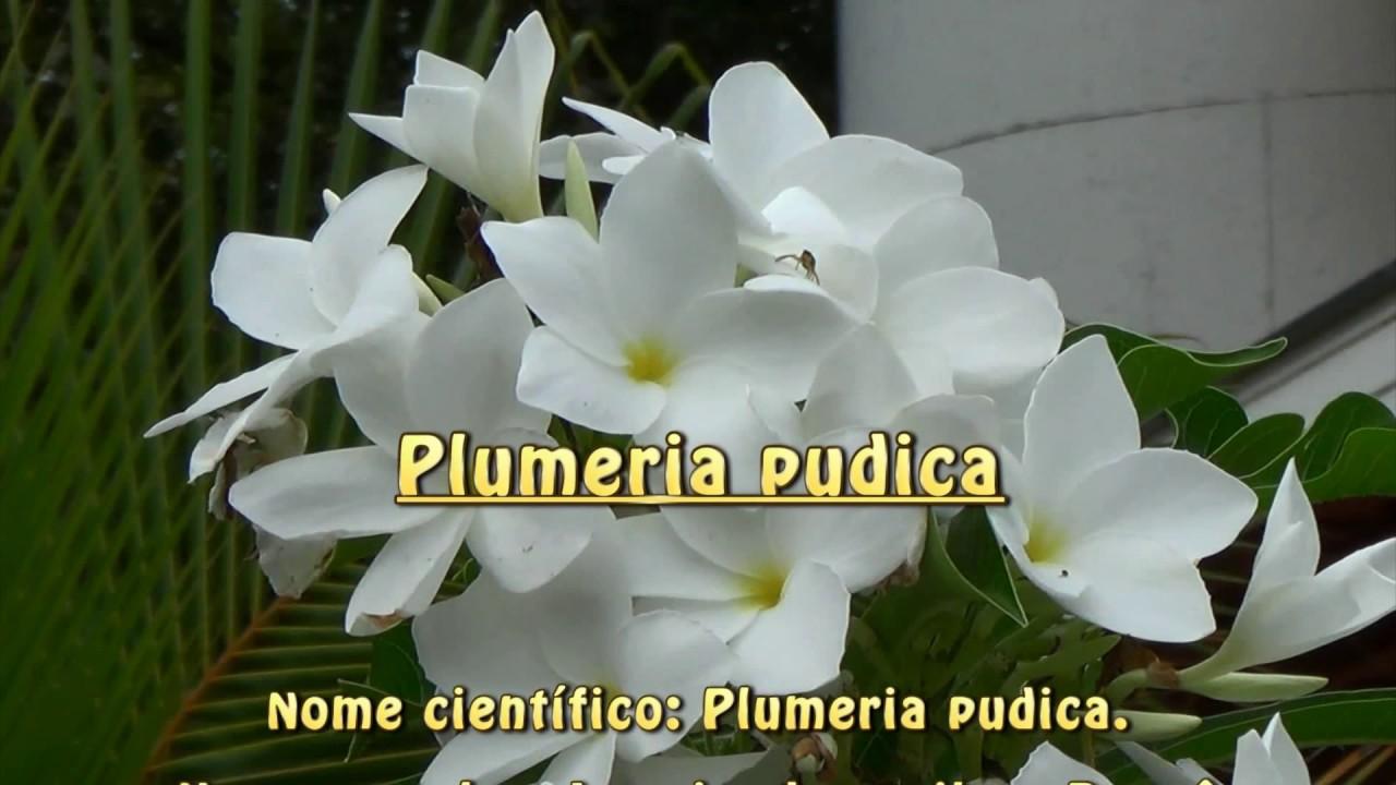 Plum ria pudica buqu de noiva jasmim do caribe plantas for Plantas decorativas hidroponicas