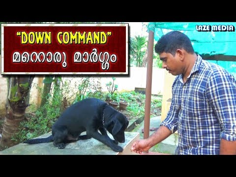 dog training : Down Command Malayalam :labrador training : വളര്ത്തു നായയെ പരിശീലിപ്പിക്കാം