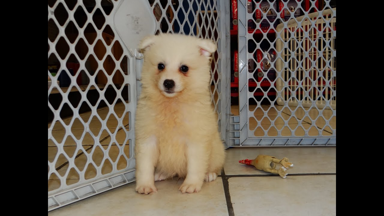 American Eskimo Puppies Dogs For Sale In Little Rock Arkansas
