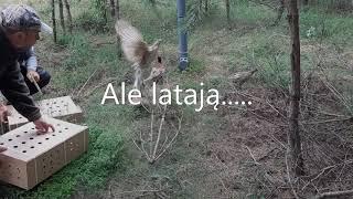 Introdukcja bażanta łownego  KŁ Szarak w Działdowie