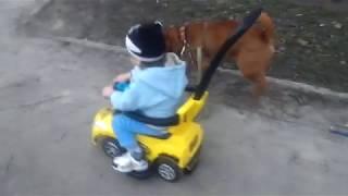Собака китайский Шар-Пей везет ребенка на машине 2018 Chinese Shar-Pei dog carries a child by car