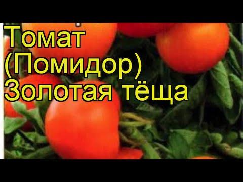 Томат обыкновенный Золотая тёща. Краткий обзор, описание характеристик, где купить семена