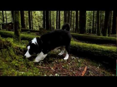 Ivy and Her Forest - Australian Shepherd Puppy
