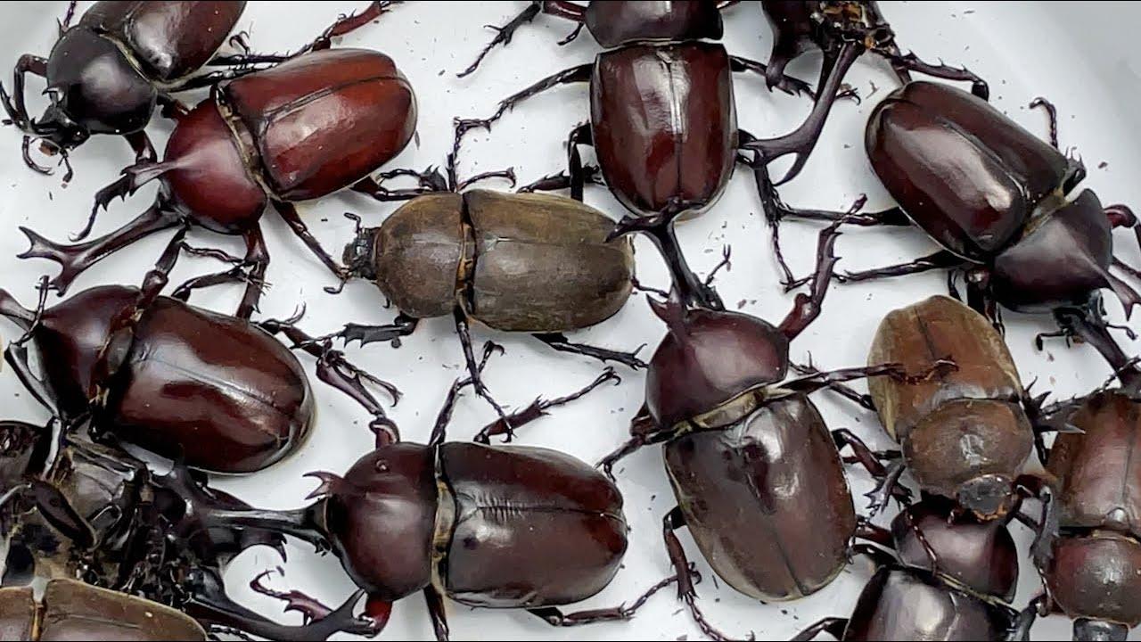 カブトムシフェスタ2021 A large number of Japanese rhinoceros beetles 【カブトムシ・クワガタムシ】