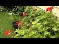 Plymouth gardener?s secrets to growing geraniums