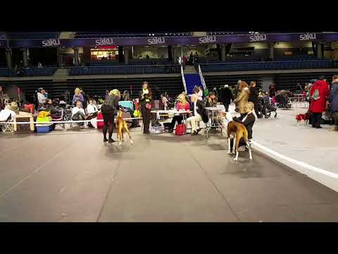 Best Of Breed Ibizan Hound - Tallinn Winter Cup 18.02.10
